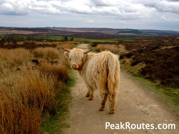 Curbar Edge - Highland Cattle