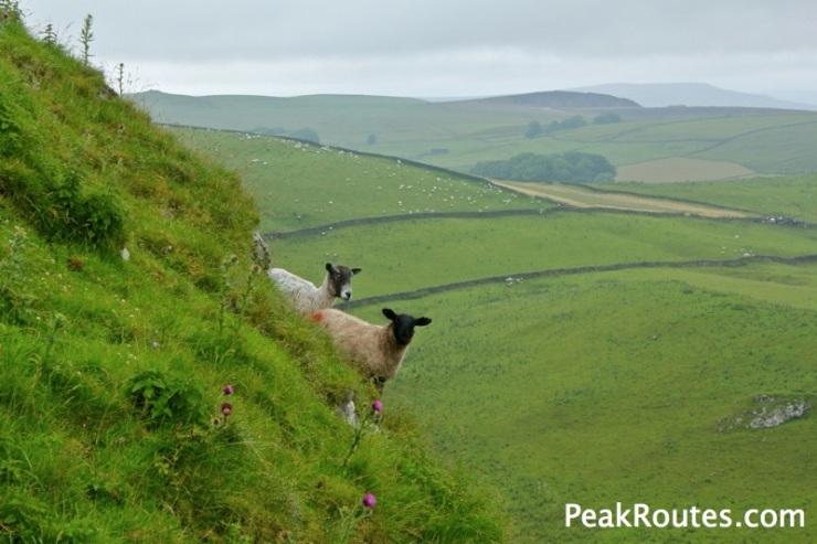 Chrome Hill Sheep