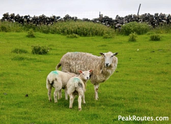Sheep near Tor Rock