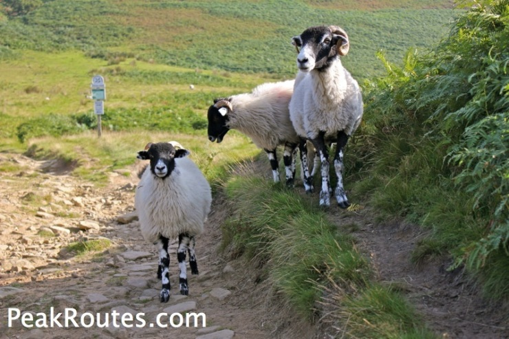 Sheep near Slippery Stones