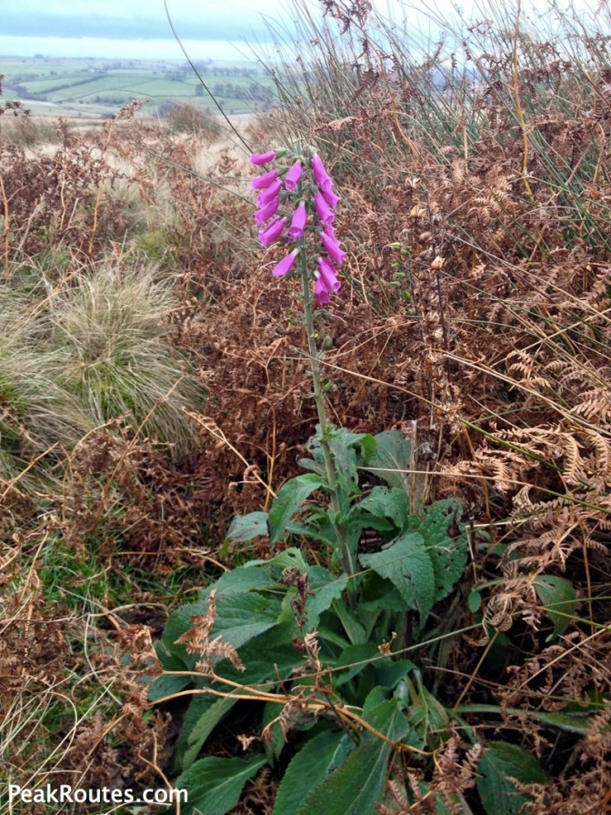 Beeley Moor Foxglove