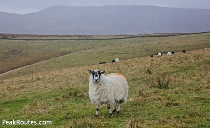 Kinder Scout - Angry Sheep