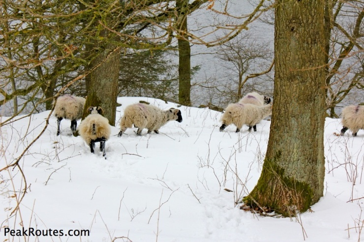 Ladybower Sheep