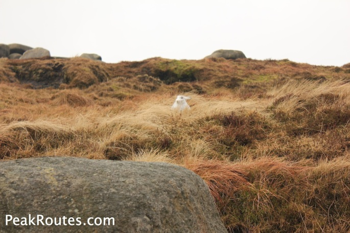 Mountain Hare on Bleaklow Stones