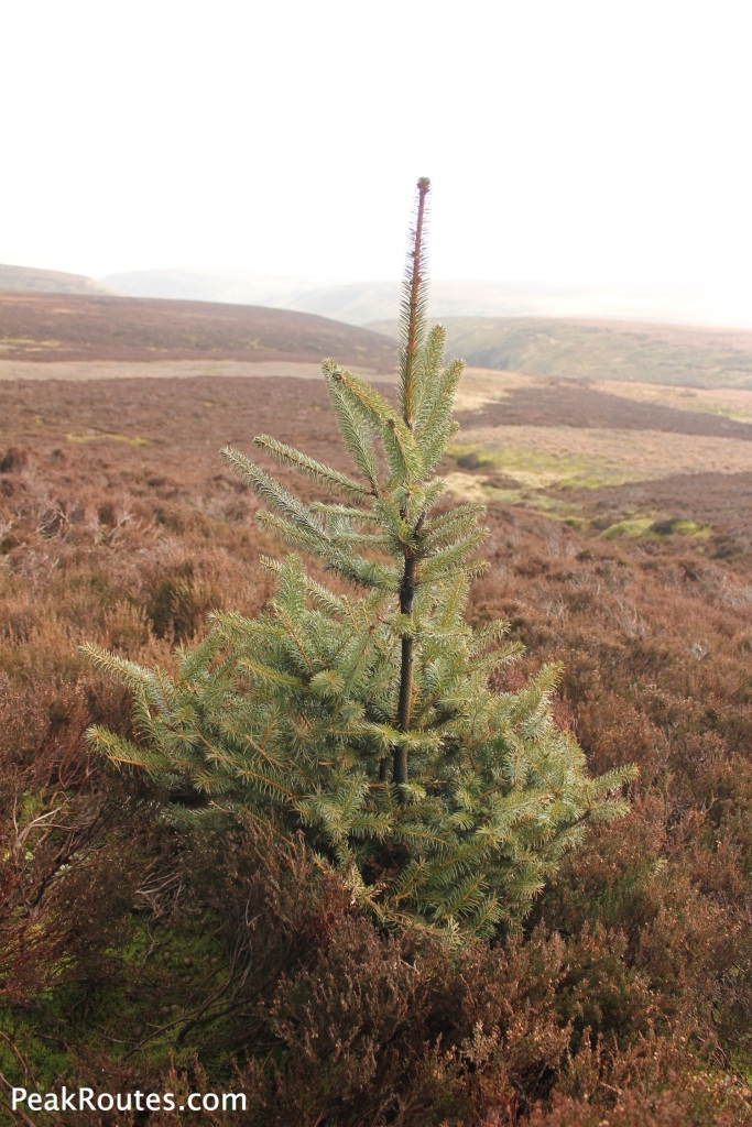 Spruce growing at Westend Head