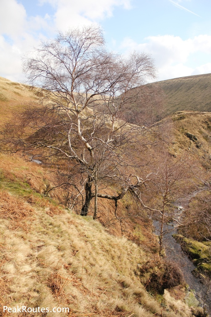 Silver Birch in Westend Clough