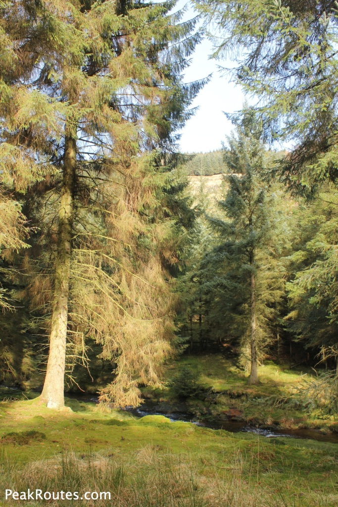Pine Forest in Westend Clough