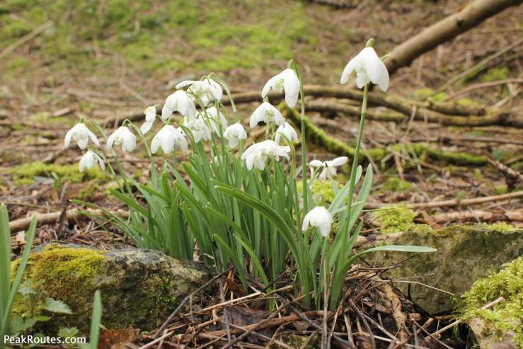 Snowdrops in Lathkill Dale