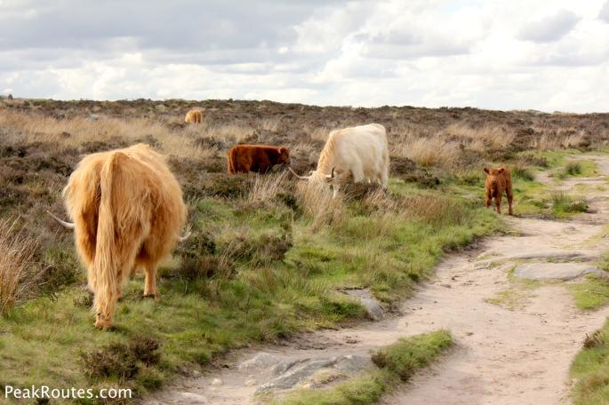 Highland Cattle on Baslow Edge