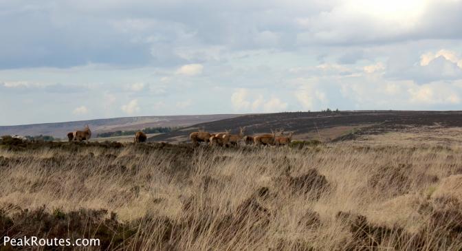 A Herd of Deer on White Edge