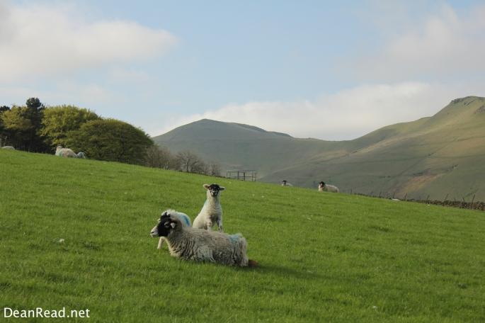 Inquisitive Lambs